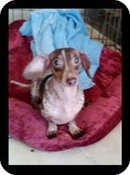 Dachshund Dog for adoption in Georgetown, Kentucky - GRACIE