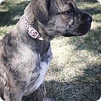 Adopt A Pet :: Diva - Broomfield, CO