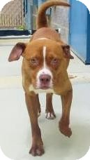Pit Bull Terrier/Terrier (Unknown Type, Medium) Mix Dog for adoption in Lincolnton, North Carolina - Drake
