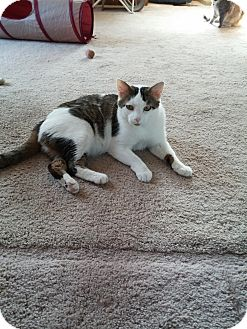 Domestic Shorthair Cat for adoption in ST LOUIS, Missouri - Dexter
