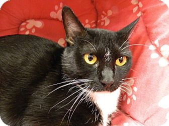 Domestic Mediumhair Cat for adoption in The Colony, Texas - Shelby