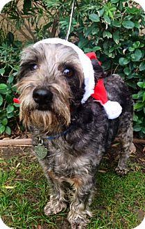 Schnauzer (Miniature) Dog for adoption in Irvine, California - SPANKY