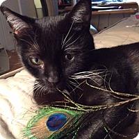 Adopt A Pet :: Santina - Chicago, IL