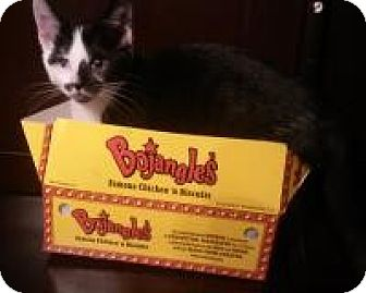 Domestic Shorthair Cat for adoption in Richmond, Virginia - Sasha