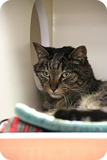 Domestic Shorthair Cat for adoption in Gloucester, Massachusetts - Mr Brad Pitt