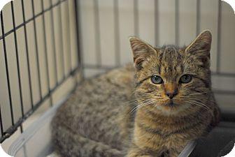 Domestic Shorthair Kitten for adoption in Everett, Ontario - Nate