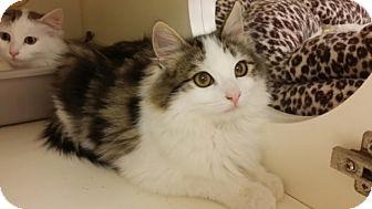 Norwegian Forest Cat Kitten for adoption in San Fernando Valley, California - Patches