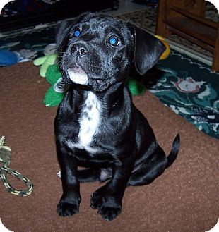 Labrador Retriever/Boxer Mix Puppy for adoption in Olive Branch, Mississippi - JT-Justin Timberlake-MemphisTN