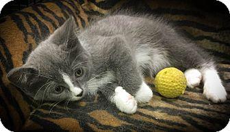 Domestic Shorthair Kitten for adoption in Hamilton., Ontario - Winona