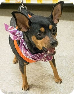Miniature Pinscher Mix Dog for adoption in Loudonville, New York - Momma