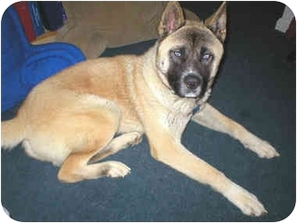 Siberian Husky/Akita Mix Dog for adoption in Boyertown, Pennsylvania - Thunder