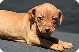 Dachshund/Beagle Mix Puppy for adoption in Marion, North Carolina - Zesty
