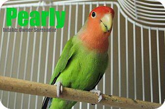 Lovebird for adoption in Hamilton, Ontario - Pearly