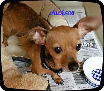 Chihuahua/Dachshund Mix Dog for adoption in Ahoskie, North Carolina - Jackson
