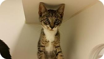 American Shorthair Kitten for adoption in Reisterstown, Maryland - John Smith