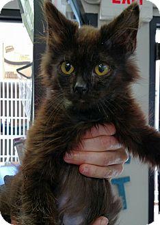 Maine Coon Kitten for adoption in Rocklin, California - Piccolo