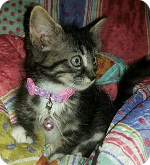 Maine Coon Kitten for adoption in Washington, North Carolina - MAYBEL