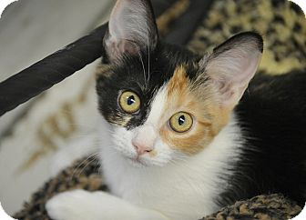 Domestic Shorthair Kitten for adoption in San Leon, Texas - Ava