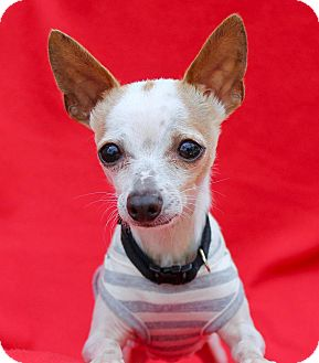 Chihuahua Dog for adoption in Irvine, California - Tuck