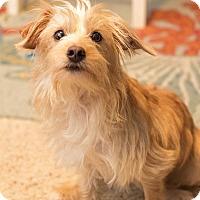 Adopt A Pet :: Goldie-APPLICATION RECEIVED - Millersville, MD