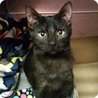Domestic Shorthair Kitten for adoption in Valley Falls, Kansas - Hunter