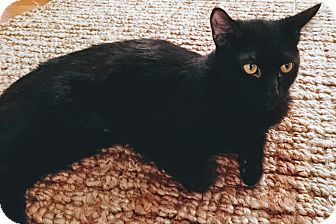 Domestic Shorthair Cat for adoption in Los Angeles, California - Myna the Bold