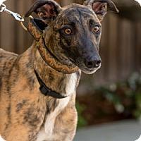 Adopt A Pet :: Kurtis - Walnut Creek, CA