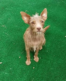 Terrier (Unknown Type, Medium)/Yorkie, Yorkshire Terrier Mix Dog for adoption in San Antonio, Texas - Truffles