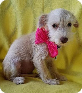 Terrier (Unknown Type, Small) Mix Puppy for adoption in Hamilton, Ontario - Adalaide