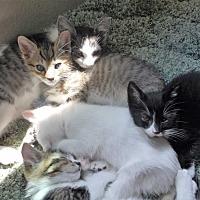 Adopt A Pet :: ginger - grove city, OH