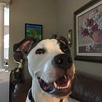 Adopt A Pet :: Kilo* - Tampa, FL