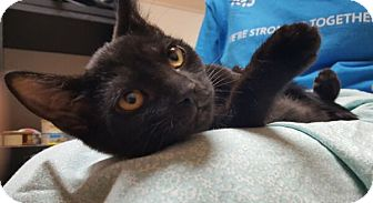 Domestic Shorthair Kitten for adoption in Reston, Virginia - Raven