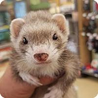 Adopt A Pet :: Pounce - Ogden, UT