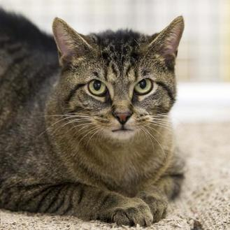 Domestic Shorthair/Domestic Shorthair Mix Cat for adoption in Kettering, Ohio - Nummie Bach