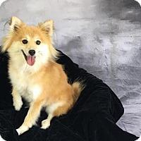 Adopt A Pet :: Sun - Dallas, TX