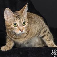 Adopt A Pet :: Kachina Doll - Tinley Park, IL