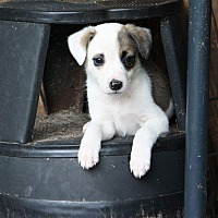 Adopt A Pet :: Snoopy - Sturbridge, MA