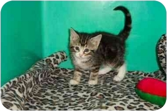 Domestic Shorthair Kitten for adoption in Secaucus, New Jersey - Tigress