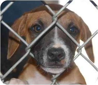 Boston Terrier Mix Puppy for adoption in Inman, South Carolina - Alphie