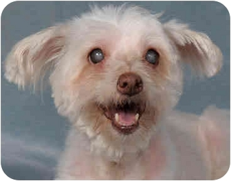 Toy Poodle Mix Dog for adoption in Chicago, Illinois - Ginger