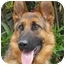 Photo 1 - German Shepherd Dog Dog for adoption in Los Angeles, California - Rommel von Rosenthal