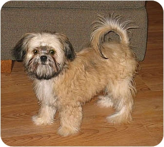 Brussels Griffon/Maltese Mix Puppy for adoption in Clinton, Connecticut - Brady - ADOPTION PENDING