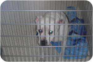 Pit Bull Terrier Mix Dog for adoption in Romulus, Michigan - PINKY
