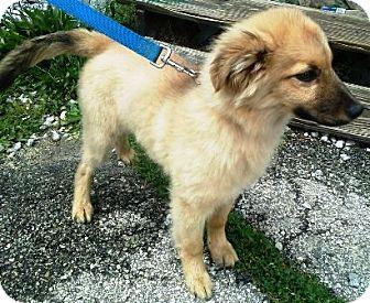 Golden Retriever/German Shepherd Dog Mix Puppy for adoption in Oswego, Illinois - I'M ADOPTED Giddeon Saravia