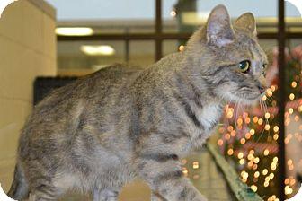 Domestic Shorthair Kitten for adoption in Elyria, Ohio - Cuddles