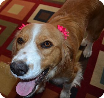 Spaniel (Unknown Type)/Golden Retriever Mix Dog for adoption in Huntsville, Alabama - Lucy Lou