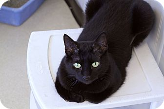 Domestic Shorthair Cat for adoption in Chicago, Illinois - Ipso