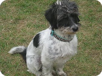Terrier (Unknown Type, Small)/Terrier (Unknown Type, Small) Mix Dog for adoption in Tumwater, Washington - Boomer