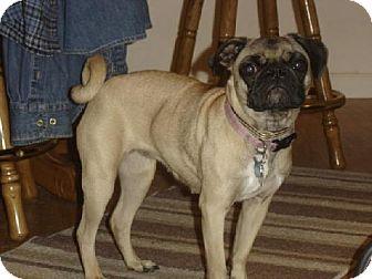 Pug Dog for adoption in Walled Lake, Michigan - Buffy