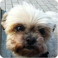 Adopt A Pet :: Pippa - Rigaud, QC